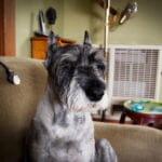 gray dog