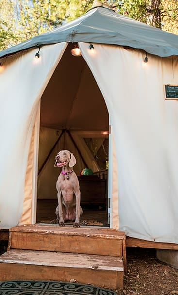 a brown big dog smiling standing outside a tant from the sunset yurt